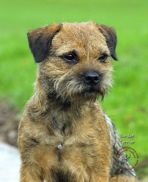 Border Terrier Dog Art Portraits Photographs Information And