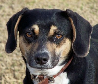 Doxle Dog For Adoption In Conway Ar Adn 472960 On Puppyfinder
