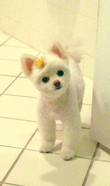 Teacup Teddy Bear Face Pomeranian Puppy For Sale Youtube Join Us