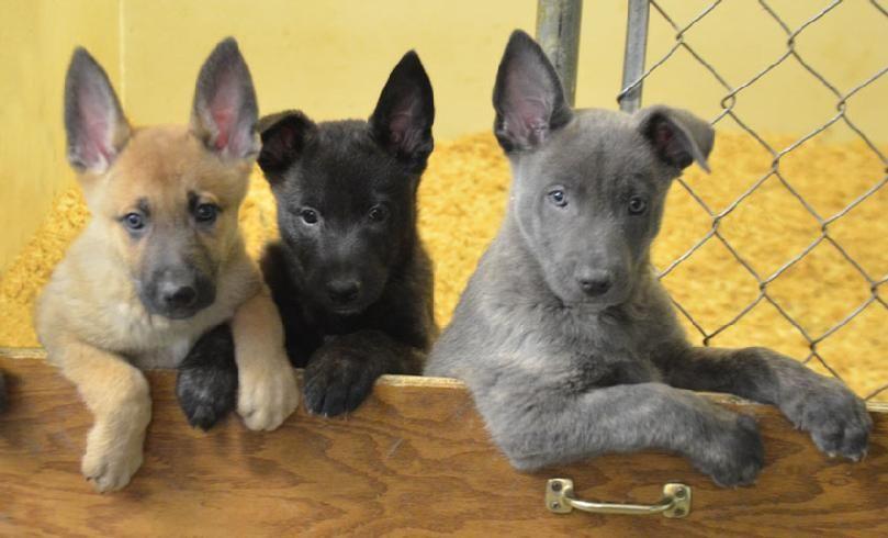 German Shepherd Cross Puppies For Sale Near Me Ideas