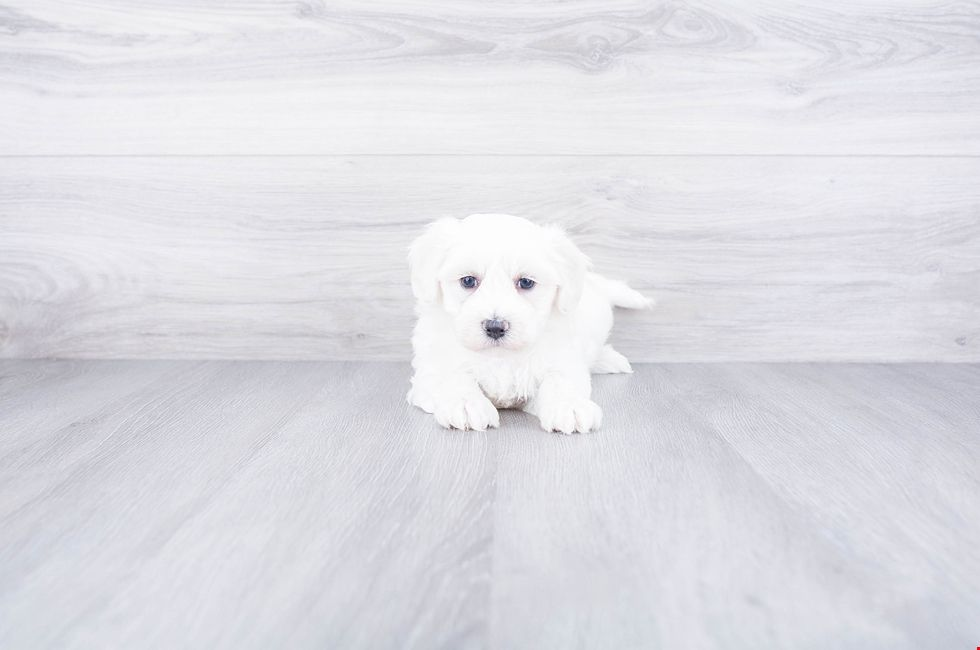 Maltipoo Puppies For Sale On The Spot Adoption In Ohio
