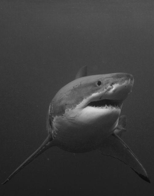 absinthius: Great White Shark | Great White Shark | Pinterest