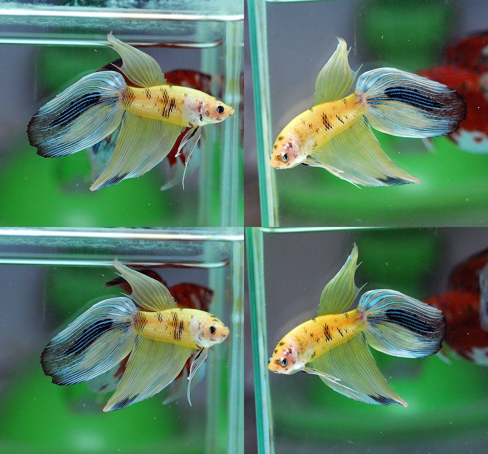Fwbettasvt1486303210 vt koi 002 male home fish betta for Male koi fish