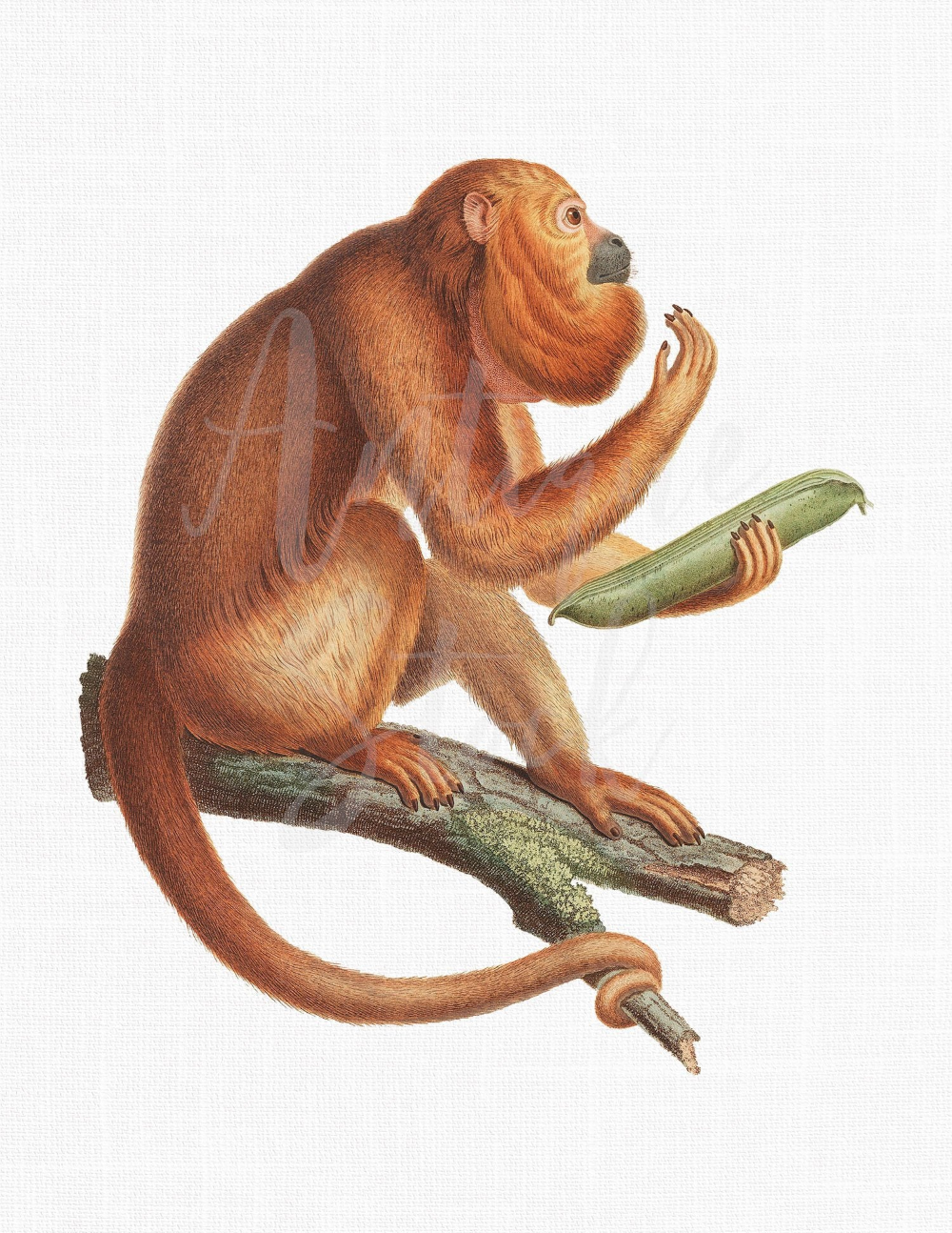 Botanical Download Print Ursine Howler Monkey Etsy Animal Illustration Monkey Illustration Scientific Illustration