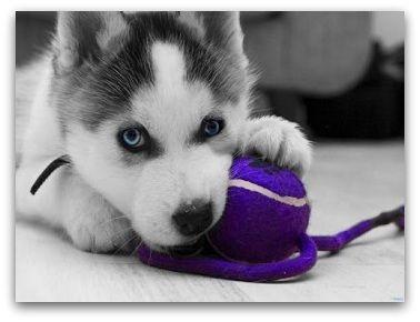 Pomsky Price How Much Are Pomsky Puppies Pomeranian Husky