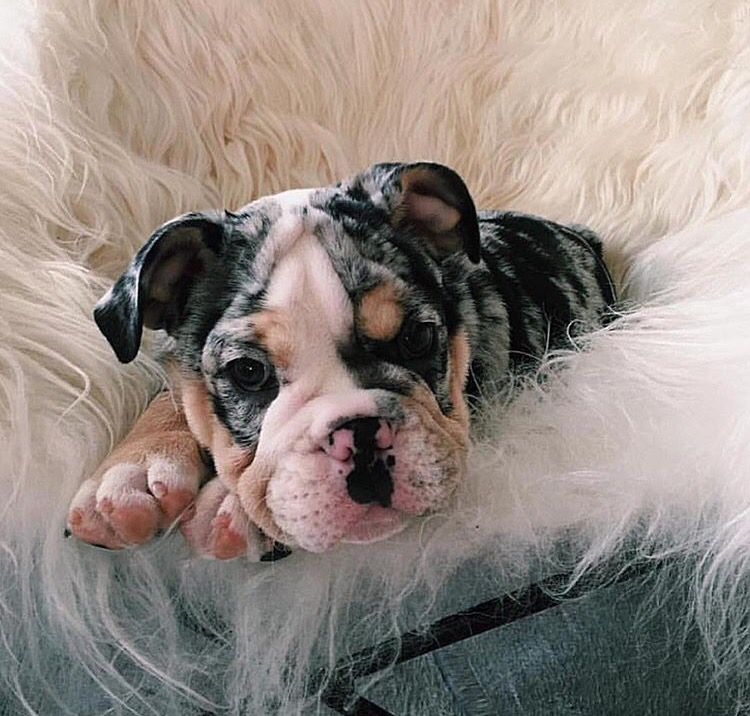 Oreo Puppy English Bulldog Puppies Bulldog Puppies Puppies