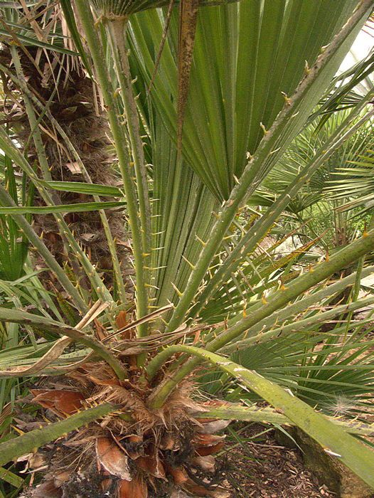 Chamaerops Humilis Spiny Petiole Thorny Flowers And