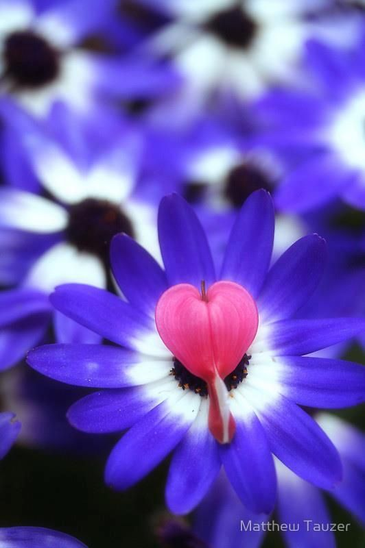 For Every One A Heart Flower Pink Heart Shaped Center White Then Blue Petals Unusual Flowers Bleeding Heart Beautiful Blooms