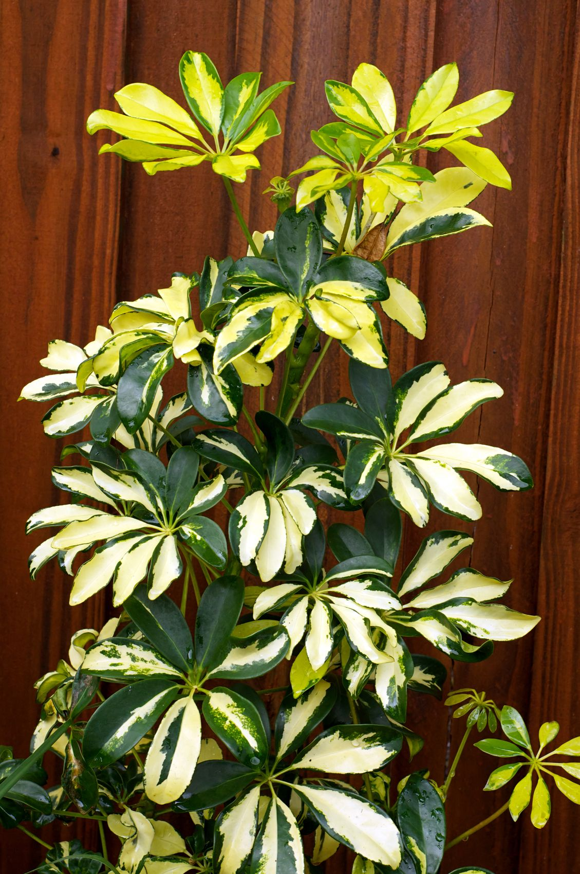 Schefflera Plant Pruning: Tips On Cutting Back Schefflera ...