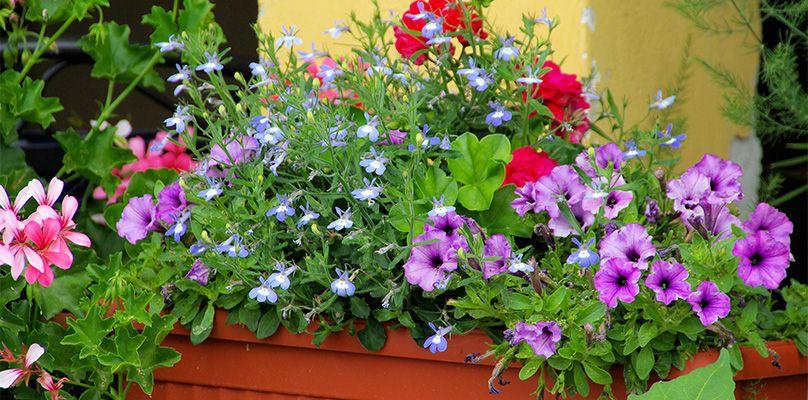 Bildergebnis Fur Petunien Stehend Balkon Pflanzen Pflanzideen