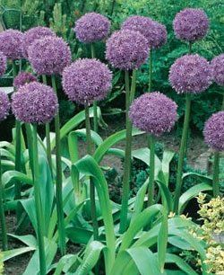 16 Top Alliums For Your Garden Fall Bulbs Day Lilies Flower Garden