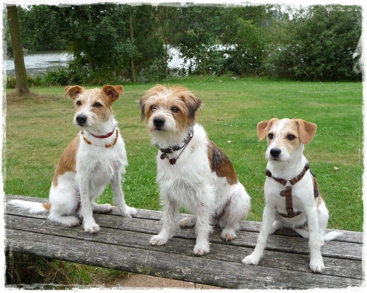 Informationen Rund Um Den Kromfohrlander Wesen Kromfohrlander Kromfohrlander Rauhaar Kromfohrlander Labradoodle Hund Jack Russell Terriers Jack Russell Terrier