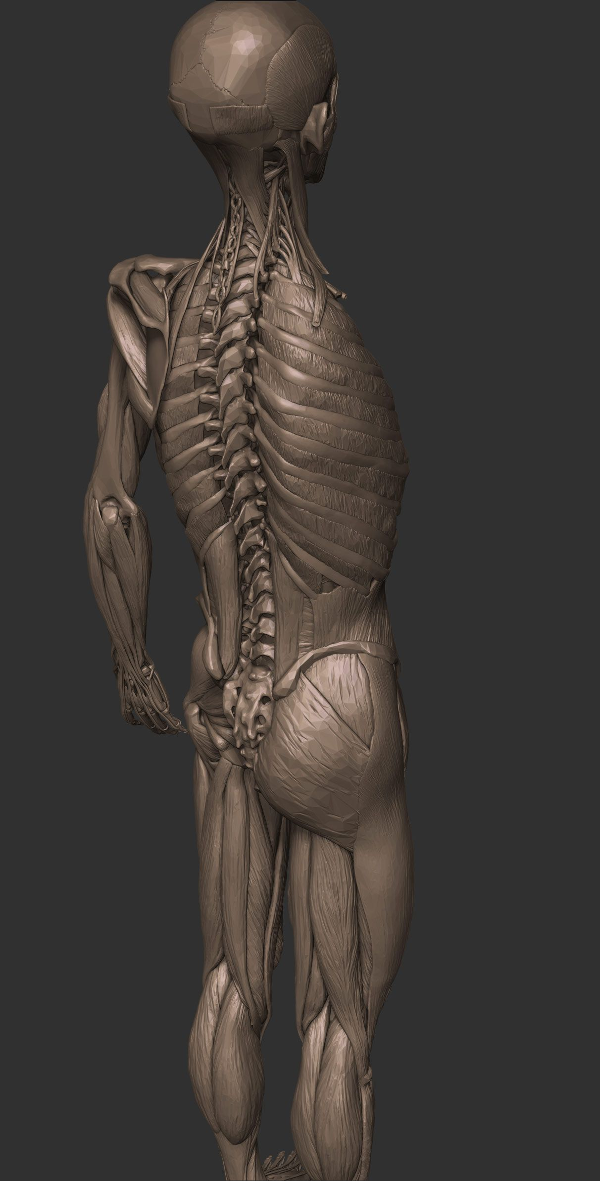 Full anatomy model free download | CGVILLA | Zbrush/Sculpture ...