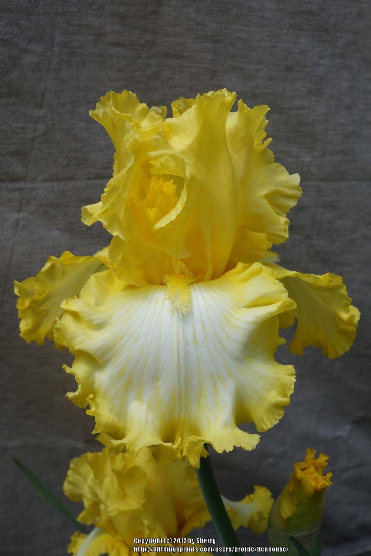 Photo of Tall Bearded Iris (Iris 'That's All Folks') uploaded by Henhouse