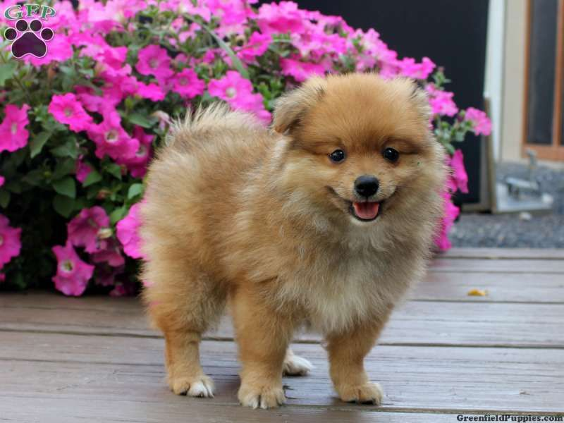 Corey pomeranian puppy for sale in reedsville pa