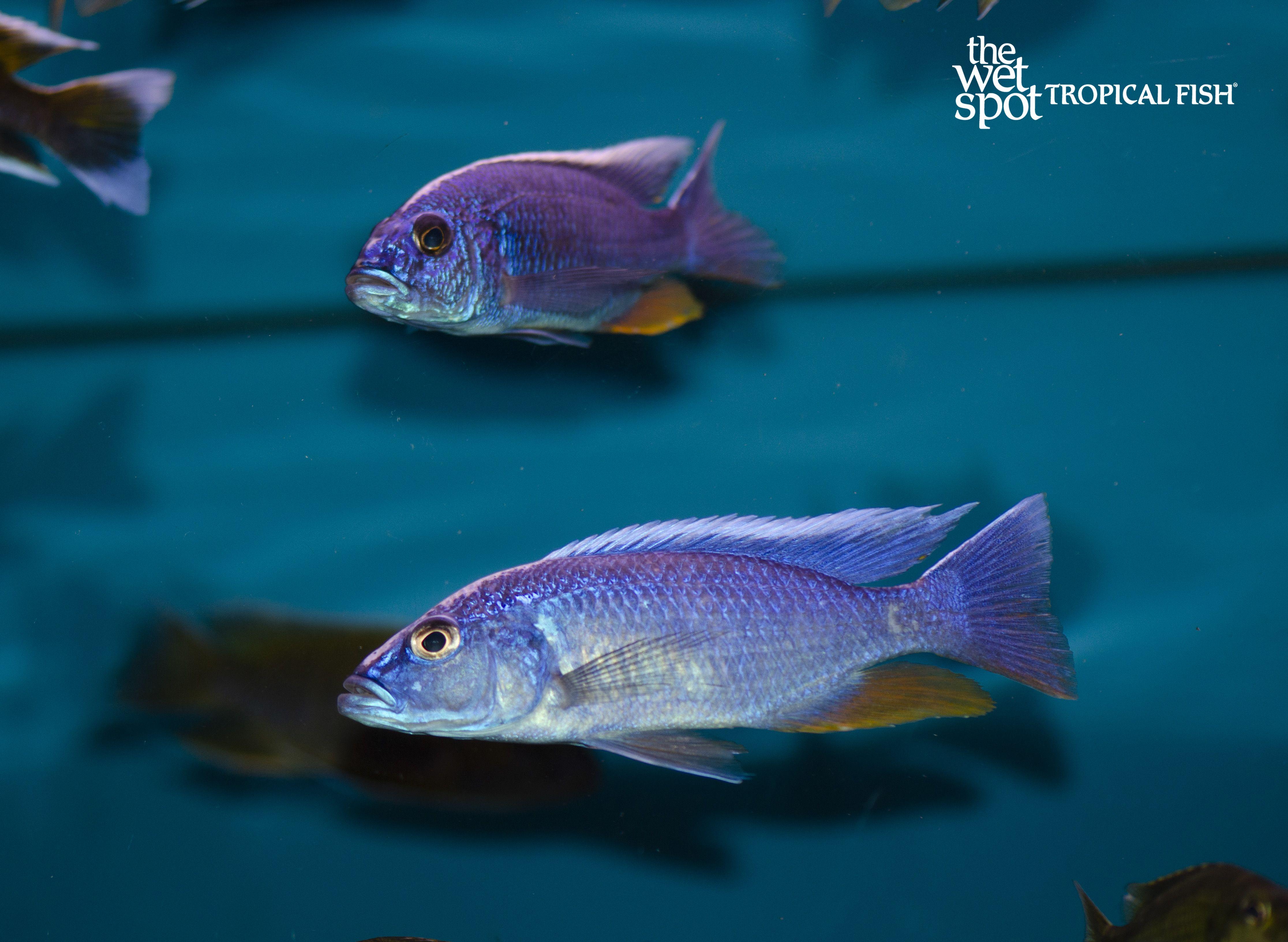 Africancichlids Cichlidsforsale Fishforsale Freshwaterfish