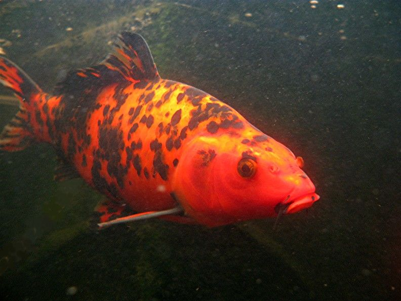 Coy Fish Google Search Coy Other Fish Pinterest