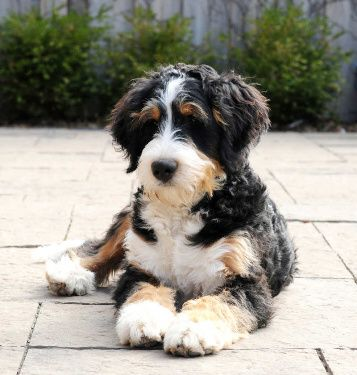 Standard Bernedoodles Swissridge Bernedoodles The