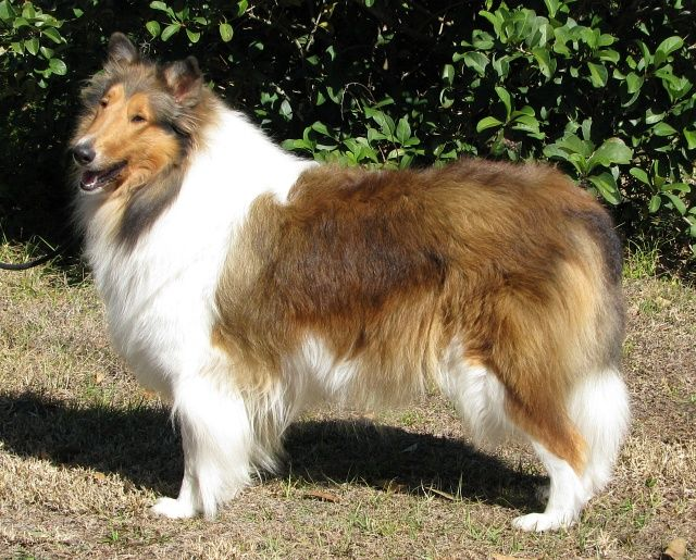 Collies 3 Collie Rough Collie Collie Puppies