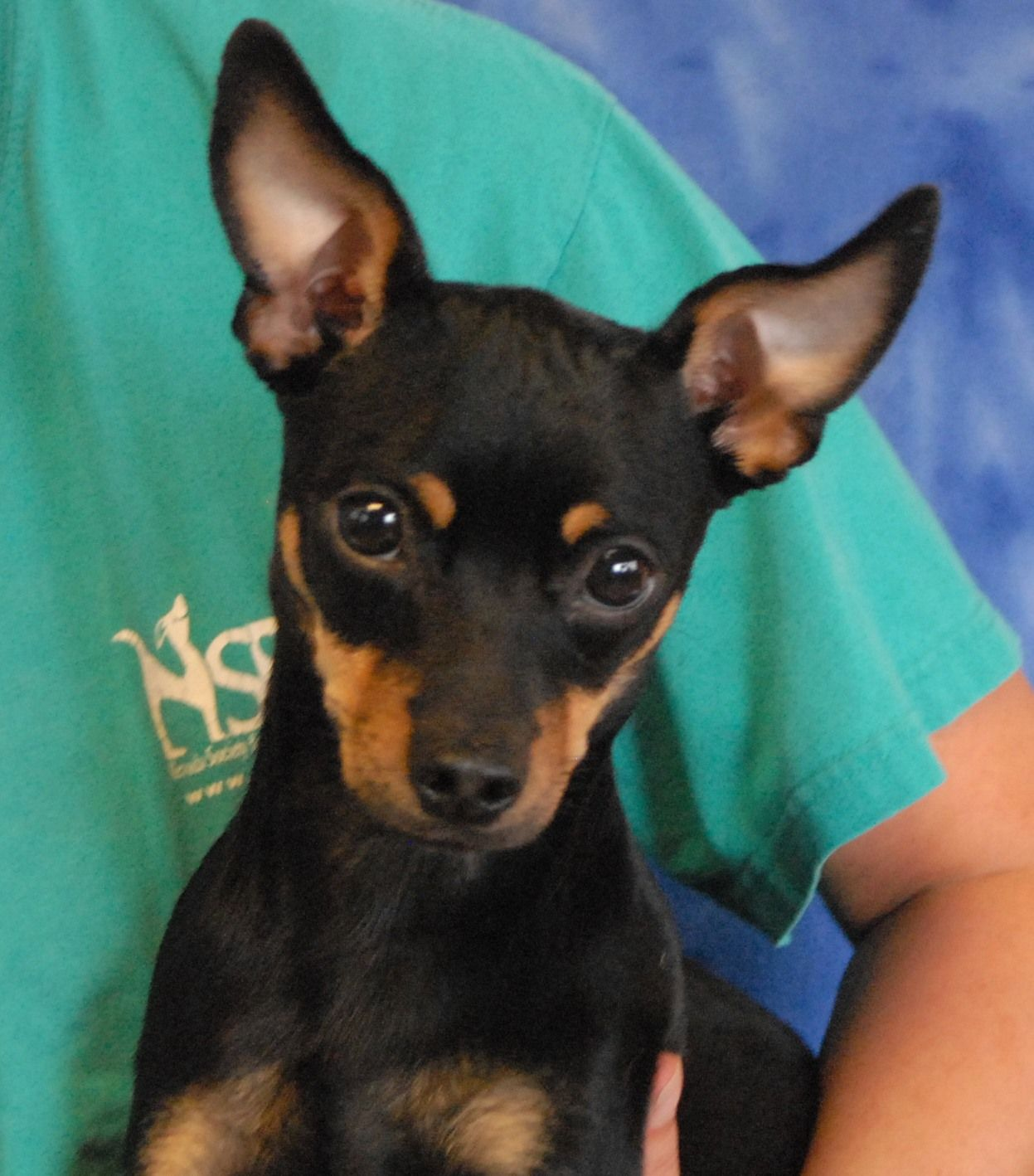 Thad Is A Tiny Demure Youngster And A Bit Shy But Talk To Him Sweetly And His Tail Wags Excitedly And His Miniature Pinscher Miniature Pinscher Mix Pinscher