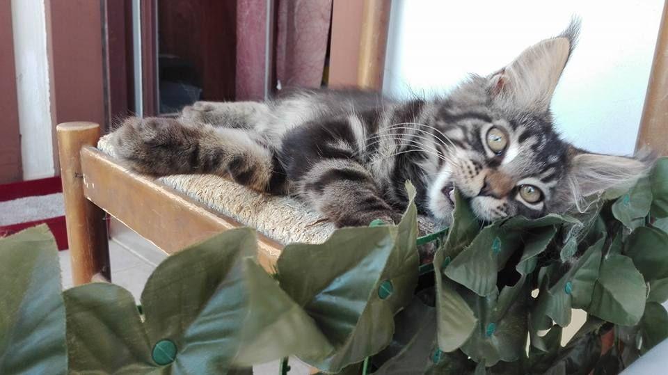 Maine coon brown tabby kitten