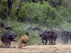 Búfalos 'viram o jogo' e fazem leão bater em retirada após ataque