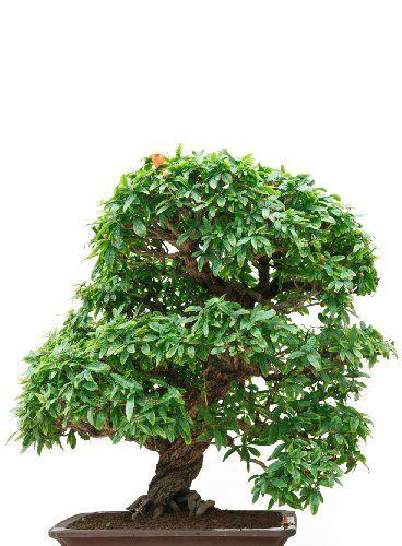 Bonsai Haus seedeo zwerg granatapfel punica granatum nana bonsai 30 samen