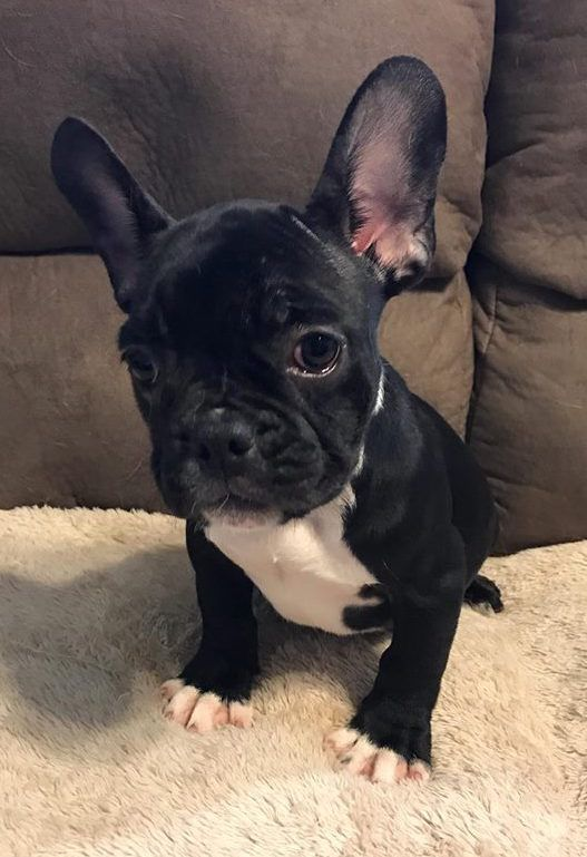 French Bulldog Puppy For Sale In Charleston Sc Adn 40751 On