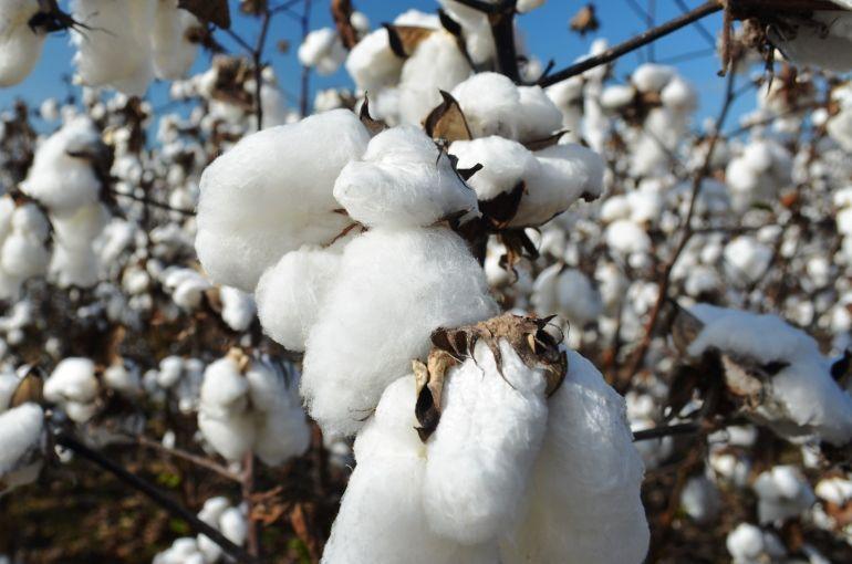 Cotton harvest yields wikifarmer cotton plant