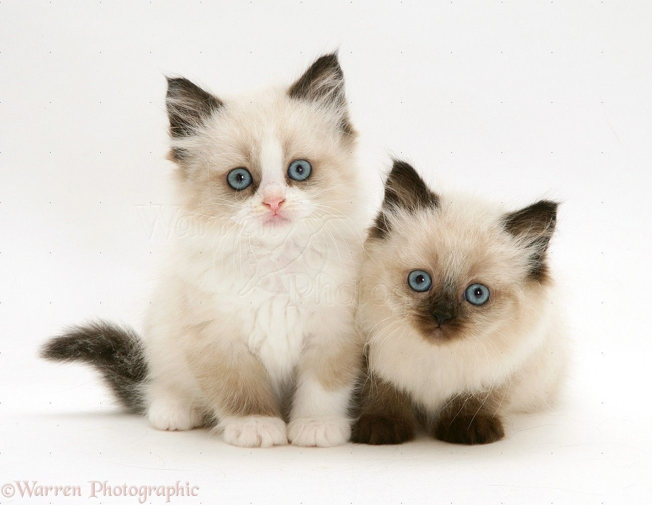 Are These The Most Beautiful Cats In The World Cute Cats British Shorthair Kittens Beautiful Cats