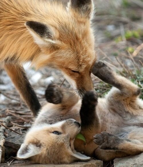 Playful little foxes