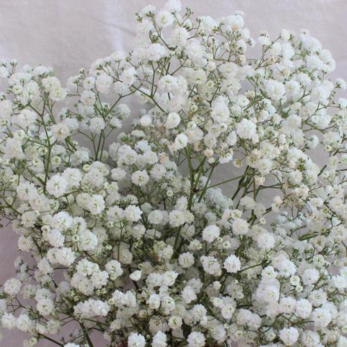 New Love Baby S Breath White Flowers In Bulk Fiftyflowers Babys Breath Babys Breath Flowers Popular Flowers