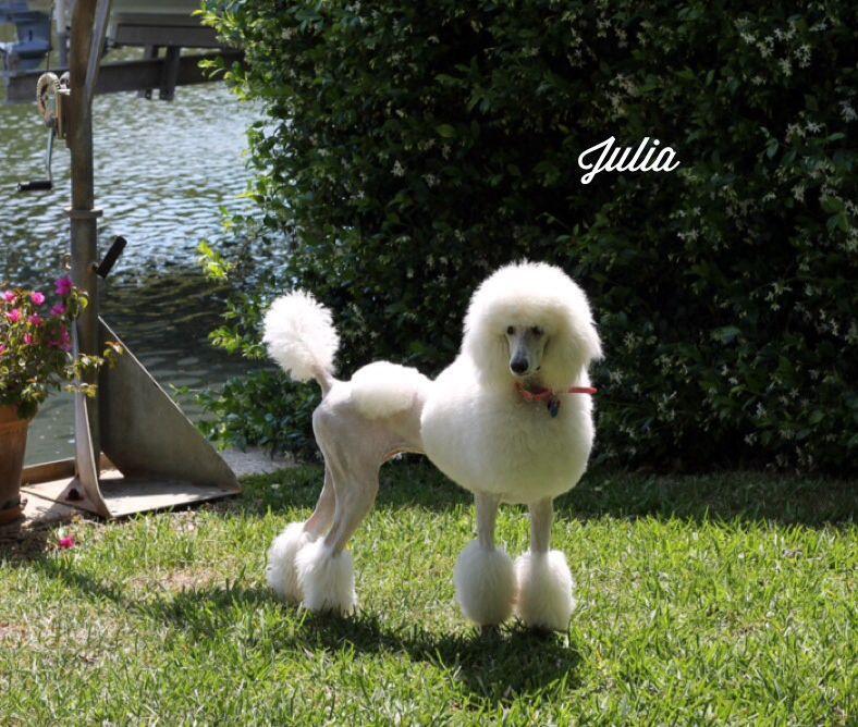 Julias new do standard poodle poodle dog grooming