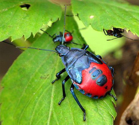 florida preditory stink bug   Florida Predatory Stink Bug - Euthyrhynchus floridanus