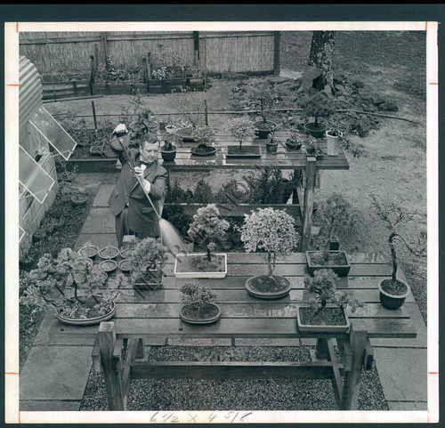 vintage bonsai photo from 1963.  John K. watering, from baltimore sun