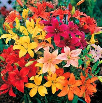 Asiatic lily - assorted