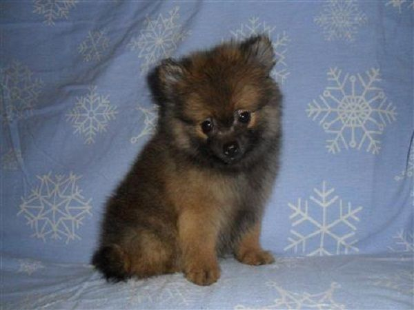pomeranian puppies for sale in michigan | Zoe Fans Blog | Animals