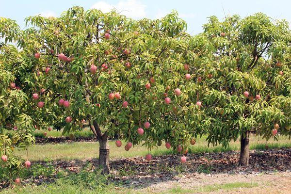 Mango Tree Picture