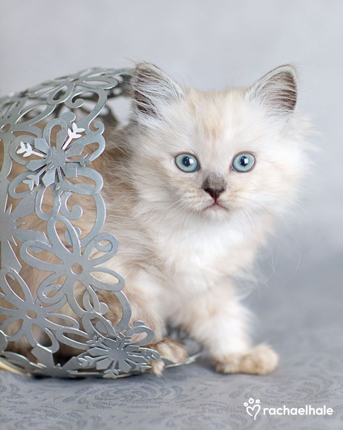 Biscott (Ragdoll x Tiffany ) - A fluffy little Biscott ventures out of her flower pot  (pic by Rachael Hale)