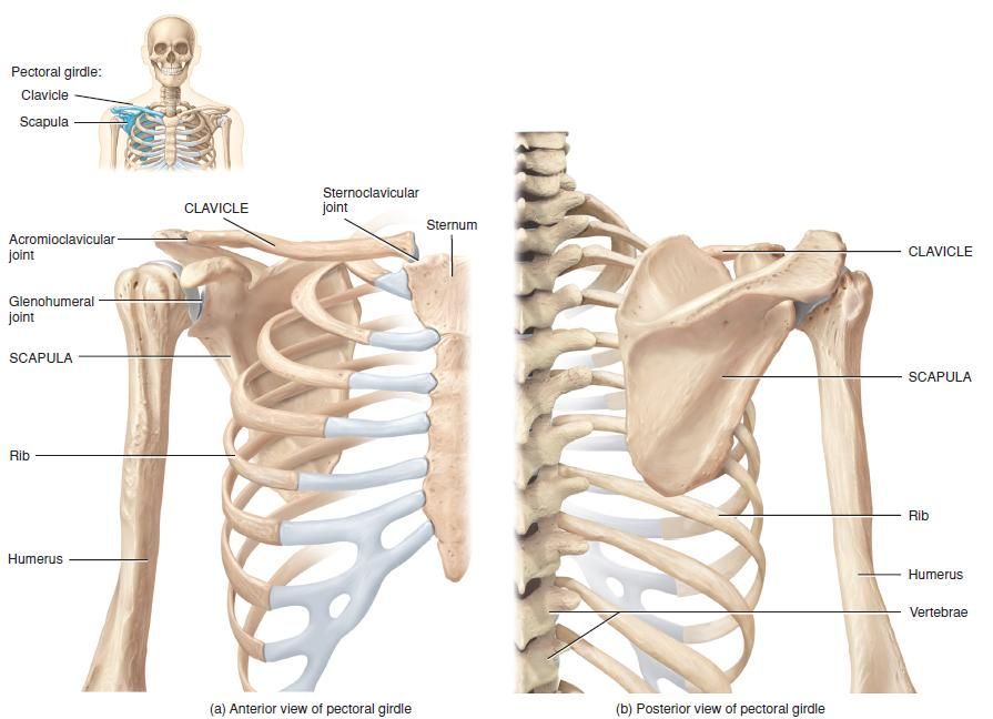 right pectoral (shoulder) girdle | anatomy | pinterest | audio and, Skeleton