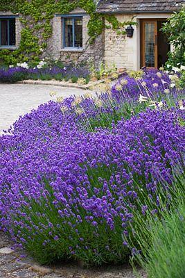 Lavender in the home garden levendula pinterest for Jardines de lavanda