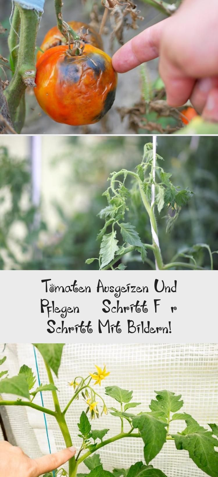 Tomaten Ausgeizen Und Pflegen Schritt Fur Schritt Mit Bildern Tomato Modern Outdoor Chairs Garten Ideen