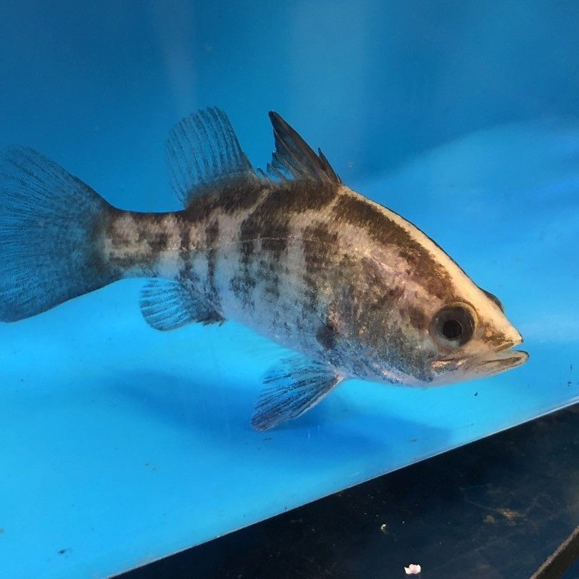 Barramundi Fish Also Known As The Giant Perch Is A Fish