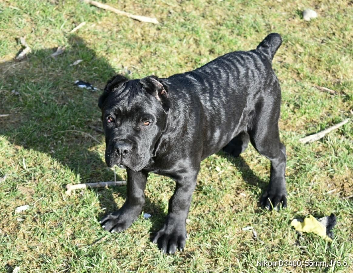 13 Weeks Puppy Imported From Europe Macedonia Now Located In Middletown Ny Rly Good Bloodline Ear Cane Corso Cane Corso For Sale Cane Corso Puppies