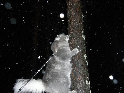 Siberian cat Myrtti <3