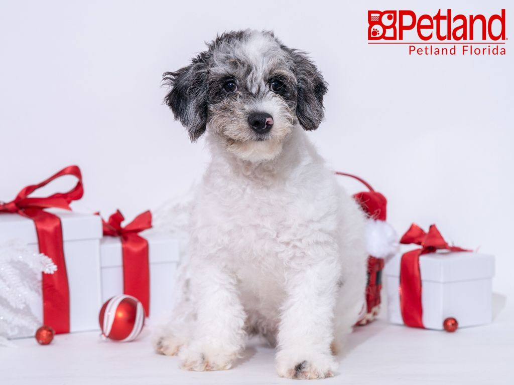 Petland Florida Has Cockapoo Puppies For Sale Check Out All Our Available Puppies Cockapoo Petla Cockapoo Puppies For Sale Puppy Friends Cockapoo Puppies