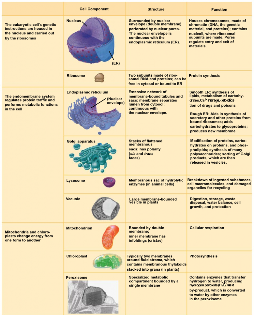 Pin by Ramon Perez on Mcat | Pinterest | Science cells, Cell model ...