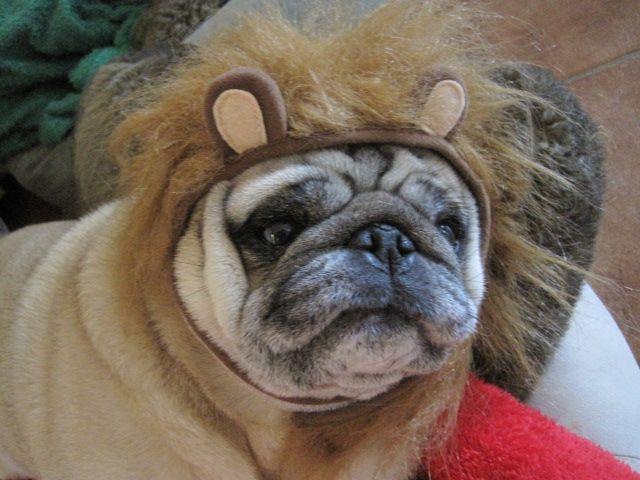 Stewie Or Lion French Bulldog Animals Pugs