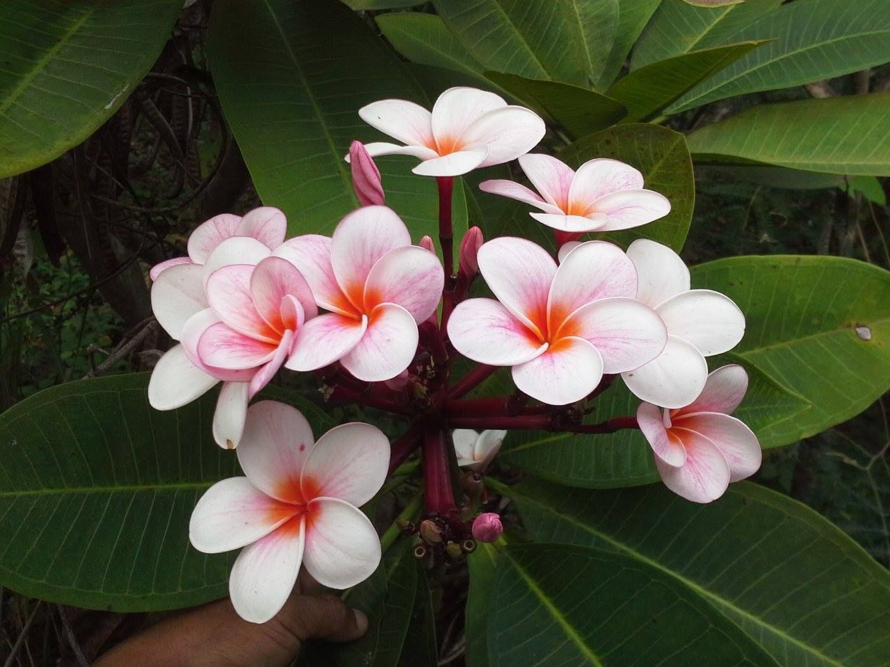The Plumeria Society Of America Recommends A Potting Mix Designed For Roses If The Soil Still Seems Too Dense Add Some Perlite Plumeria Frangipani Flower Lei