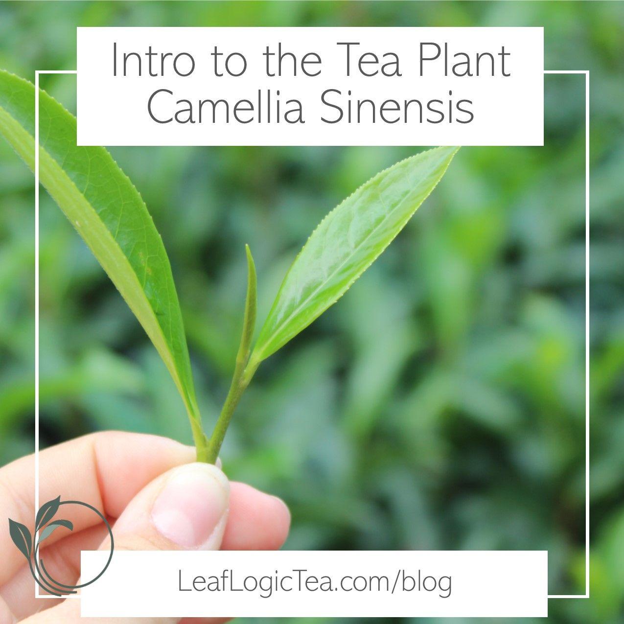 Introduction To The Tea Plant Camellia Sinensis Leaf Logic Wellness Tea Green Tea Plant Tea Plant Plants